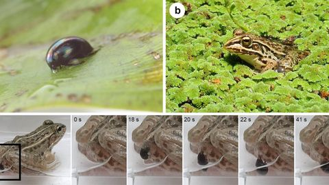 Die Bild-Combo zeigt, wie der Frosch entkommt.