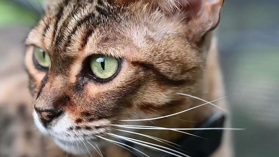 Justin Biebers Wildkatzen auch in Deutschland gefragt –Tierschützer sind besorgt