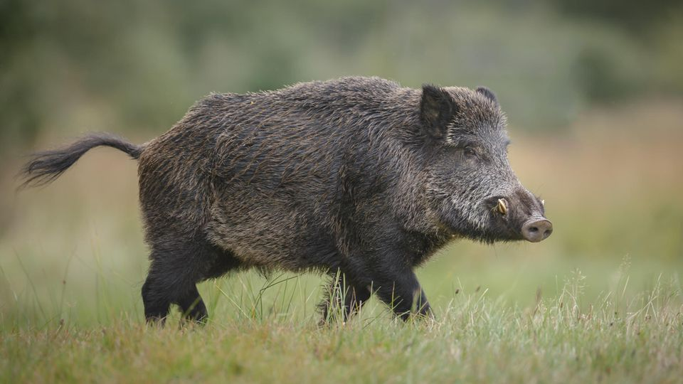 Ein Wildschwein auf grüner Wiese