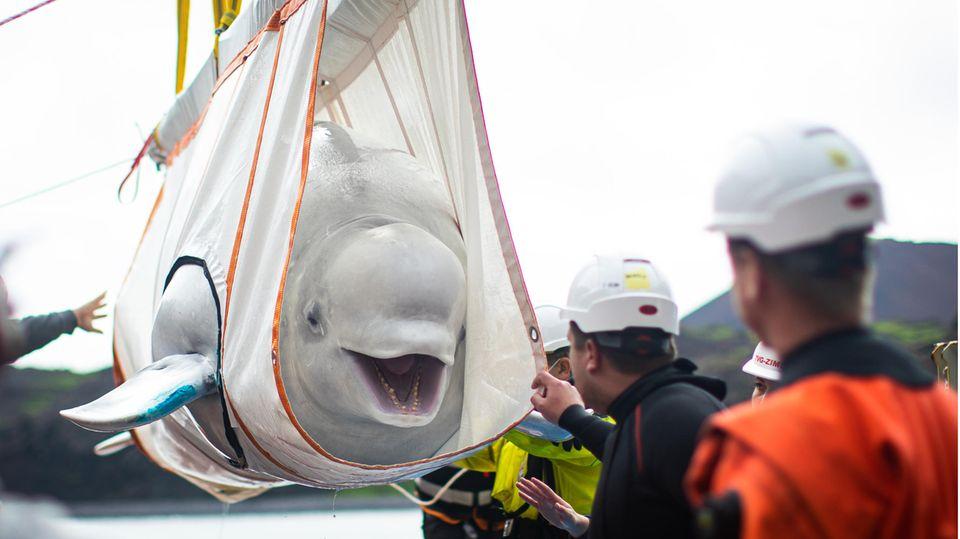 In einem weißen Transporttuch hängt ein Beluga-Wal und öffnet das Maul, als würde er lachen