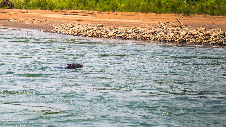 Ein Wildschwein schwimmt an einen Strand
