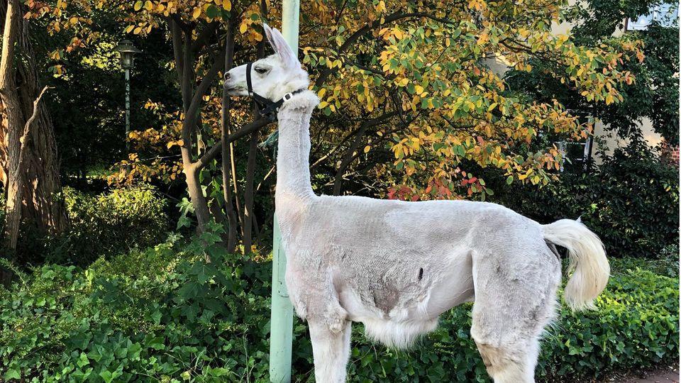 Nachrichten aus Deutschland – Lama spaziert durch Soltau