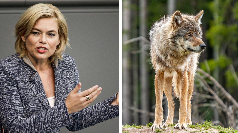 Vor sechs Monaten wurde der Abschuss von Wölfen erleichtert – Klöckner will mehr