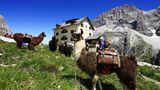 Lamas in den Bergen (Symbolbild)