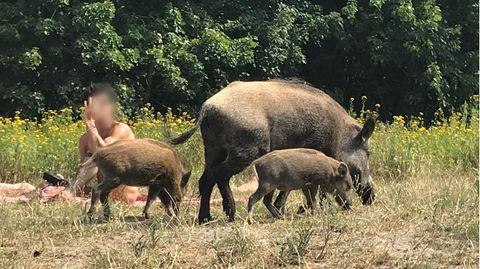 Wildschweine am Teufelssee in Berlin