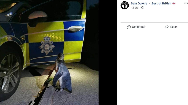 Ein Pinguin steht vor einem Polizeiwagen