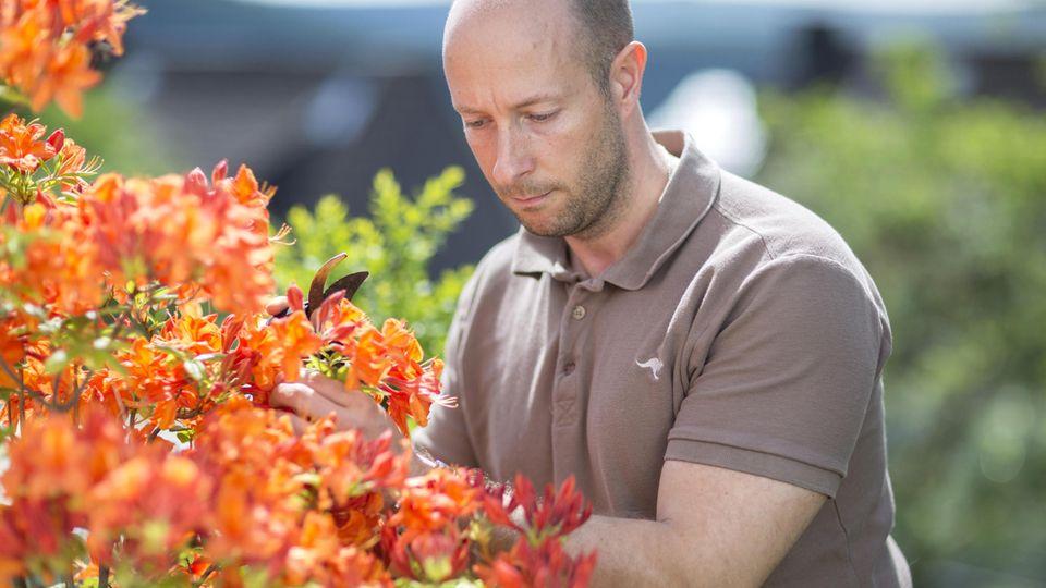 Rhododendron schneiden: Mann mit Gartenschere an einem Rhododendron