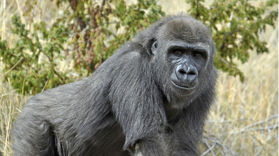 Gorilla-Dame Tumani  schaut in die Kamera