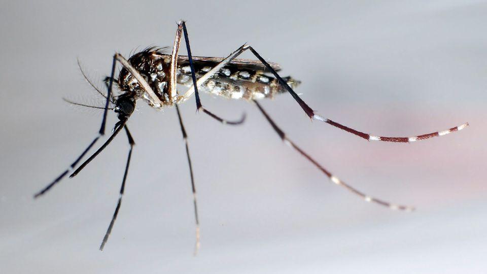 DieAedes aegypti, auch Gelbfiebermücke, Denguemücke oder Ägyptische Tigermücke genannt