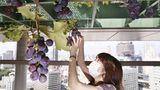 Tokio, Japan.Die Arbeiten zur Weinlese beginnenim Dachgarten des Akasaka Tameike Towers, der100 Meter hoch über die Straßen vonTokio ragt. Seit 2000 wurden im Rahmen der Dachbegrünung auch die Decken des Gebäudes bepflanzt. Auf 160 Quadratmetern Weinrebengittern werdennun Trauben geerntet.