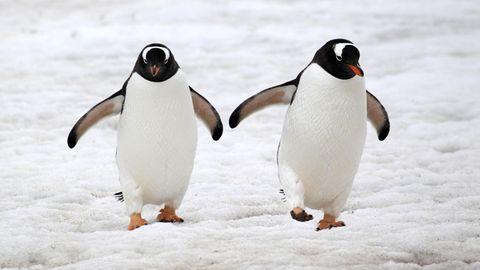 Zwei Eselspinguine in der Antarktis. Gleichgeschlechtliche Paare sind bei der Art keine Seltenheit.