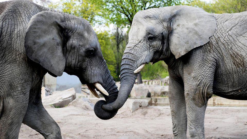 Der Wirkstoff Cannabidiol soll Elefanten im Warschauer Zoo bei der Trauerarbeit helfen