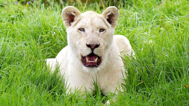 In derLion Tree Top Lodge werden vor allem weiße Löwen aufgezogen