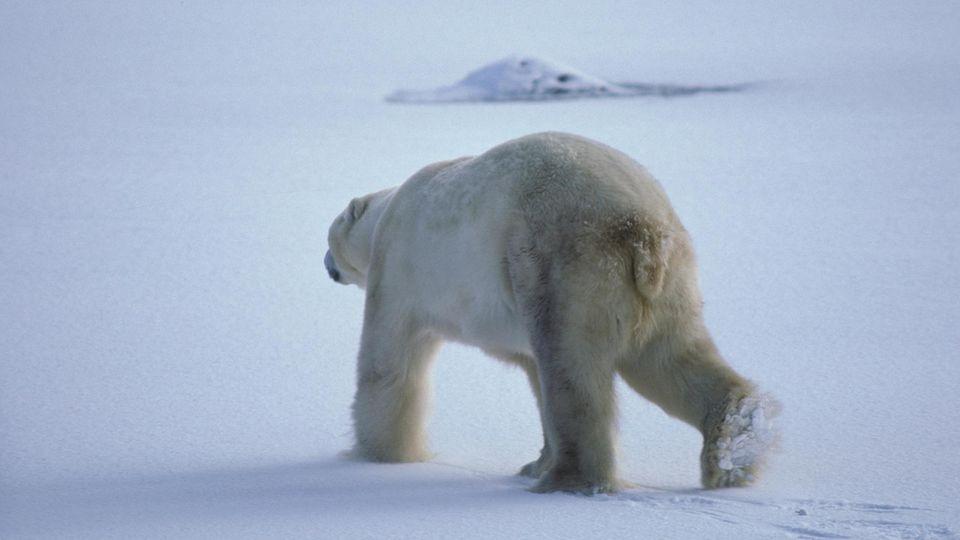 Mann auf Spitzbergen von Eisbär getötet