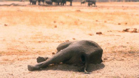 Zwölf verendete Elefanten in Simbabwe gefunden - Ursache unklar