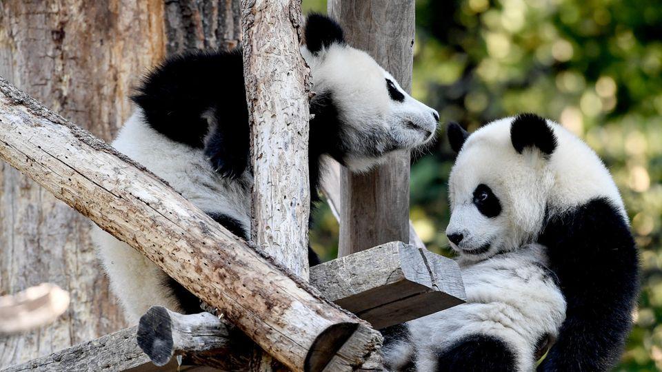 Zoo Berlin: Pandazwillinge Pit und Paule feiern Geburtstag