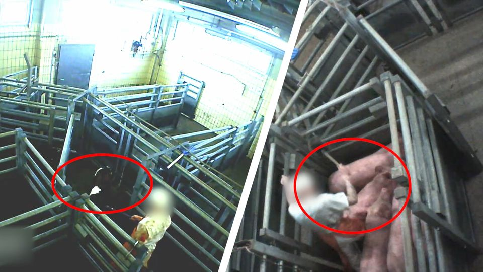 Katastrophale Zustände: SOKO Tierschutz deckt Tierquälerei in Landschlachterei auf