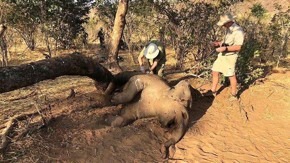 Mitarbeiter der Naturschutzbehörde Simbabwes untersuchen einen toten Elefanten