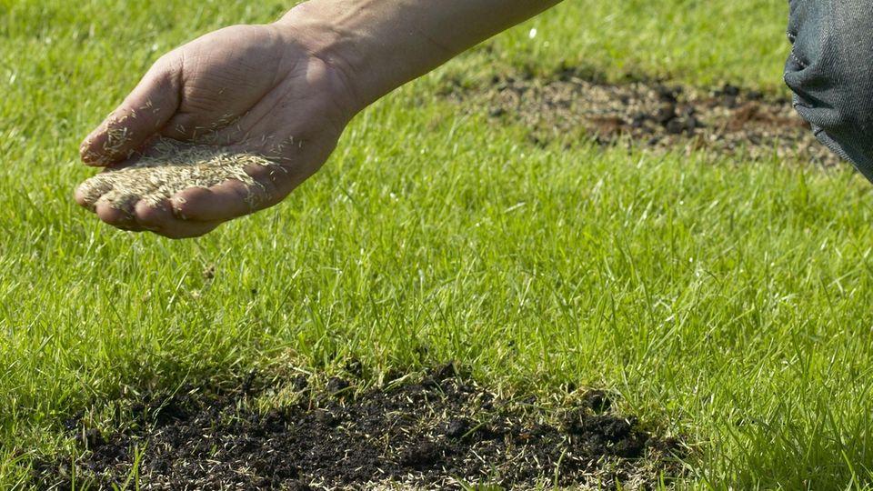 Rasen nachsäen: Mann streut mit der Hand Rasensamen auf eine braune Stelle
