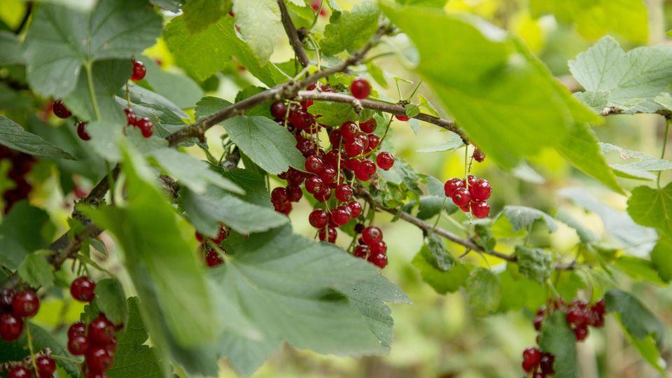 Johannisbeeren schneiden: Strauch mit einigen roten Johannisbeeren