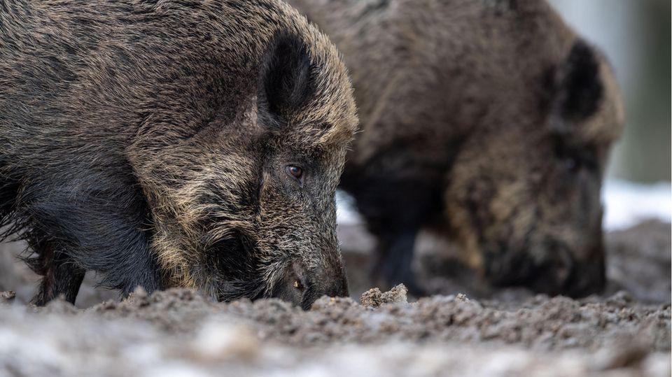 Zwei Wildschweine steht auf einem Plateau im Wald und wühlen bei der Futtersuche mit der Schnauze im Erdboden