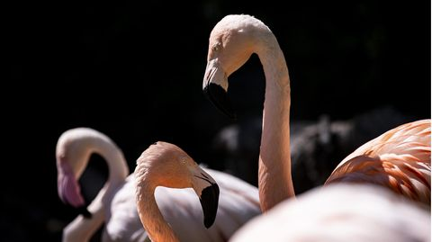 Zoo Halle trauert: Flamingos am West-Nil-Virus gestorben