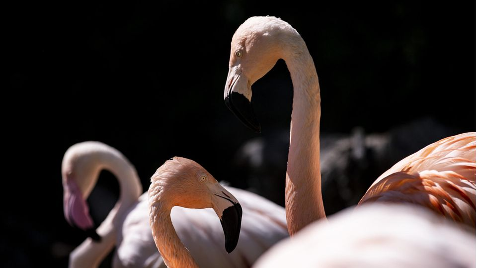 Zoo Halle trauert: Flamingos am West-Nil-Virus gestorben