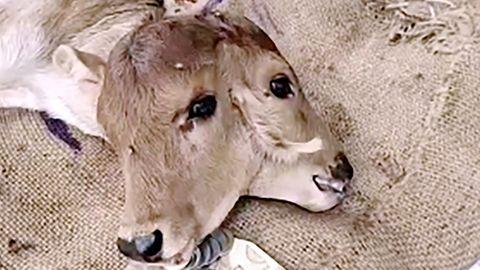 Vier Augen und drei Ohren: Kalb wird mit zwei Köpfen in Indien geboren