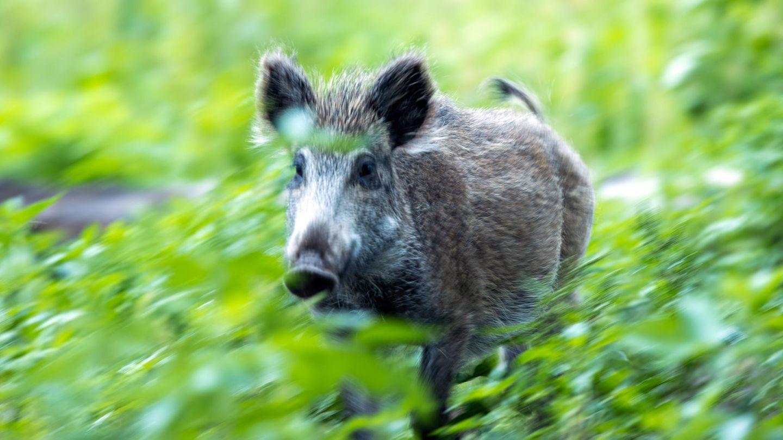 Tierseuche: Die Schweinepest hat Deutschland erreicht. Unterwegs mit jenen, die jetzt eine Katastrophe verhindern sollen