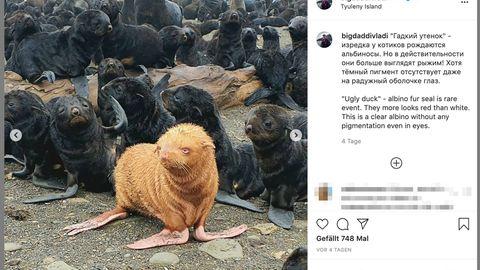 Seltene Albinorobbe in Russland
