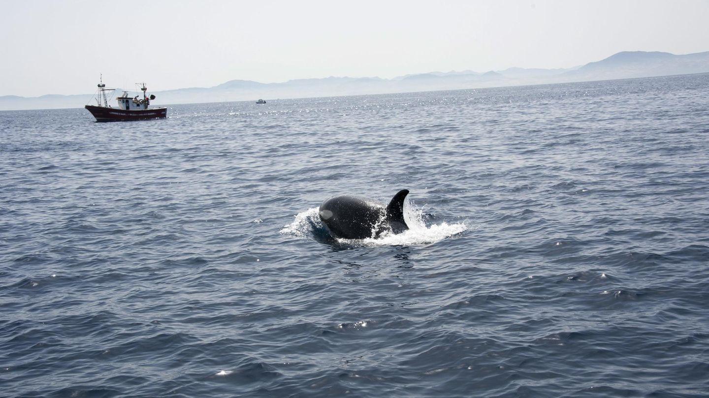 Aggressive Orcas in Spanien