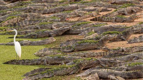 Pocone, Brasilien.Besonders viel Angst scheint dieser Reiheram Ufer des Flusses Bento Gomes im Pantanal-Feuchtgebiet nicht vor den Alligatoren direkt zu seinen Füßen zu haben. Vielleicht sollte er sich aber auch einfach nur mal umdrehen. Denn neben Säugetieren, Fischen, Schildkröten und Aas stehen auf der Speisekarte der Reptilien auchVögel.