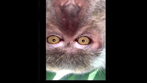 Affe spielt mit Handy