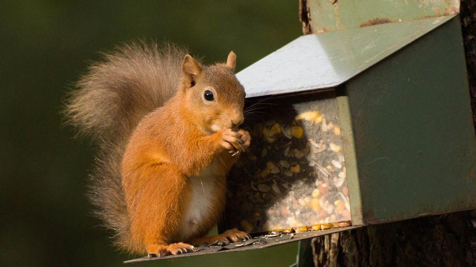 Mithilfe einer Futterstation können Sie Eichhörnchen füttern