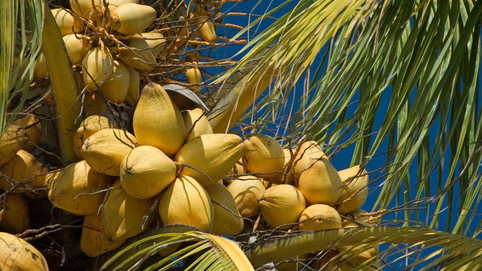 """Ernsthaftes Anliegen: """"Die da oben"""" mal anders: Sri Lankas Kokosnuss-Minister gibt Pressekonferrenz auf Palme"""