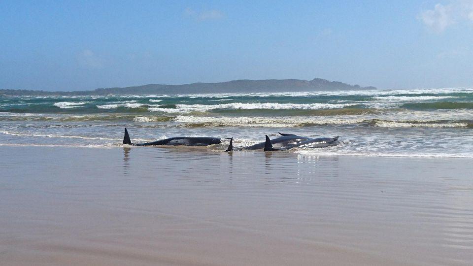 Gestrandete Grindwale liegen auf einer Sandbank im Hafen von Macquarie