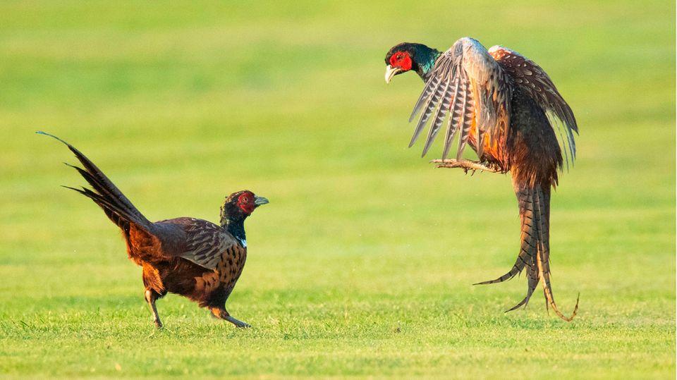 Laatzen, Deutschland: Zwei Fasane kämpfen auf dem Golfplatz Gleidingen um ihr Revier. Warmes Wetter und viele Mäuse haben sich Wissenschaftlern zufolge positiv auf die Zahl der Hühnervögel mit dem wissenschaftlichen NamenPhasianus colchicus in Niedersachsen ausgewirkt.