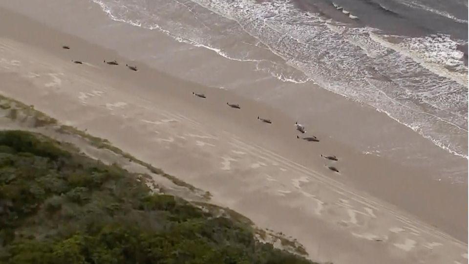 Getrandete Wale vor Tasmanien, Australien