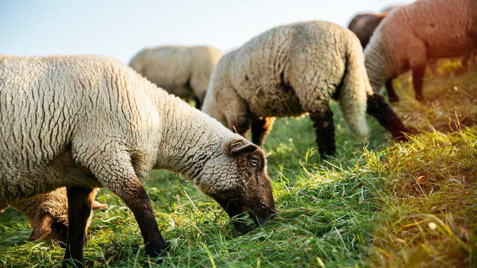 Eine grasende Schafherde