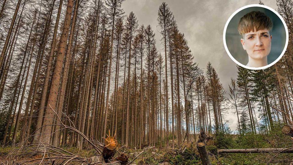 Fichten im Harz sind von der Klimakrise betroffen