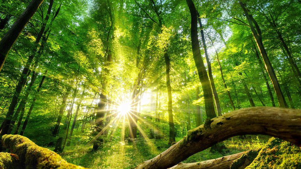 stern-Wald: Fast eine halbe Million Bäume gespendet – der globale stern-Wald wächst