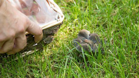 Pilze im Rasen: Kleine Gruppe Fruchtkörper auf einer Wiese