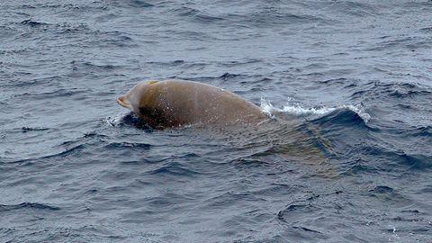 US-Ostküste: Cuvier-Schnabelwal stellt neuen Tauch-Rekord auf