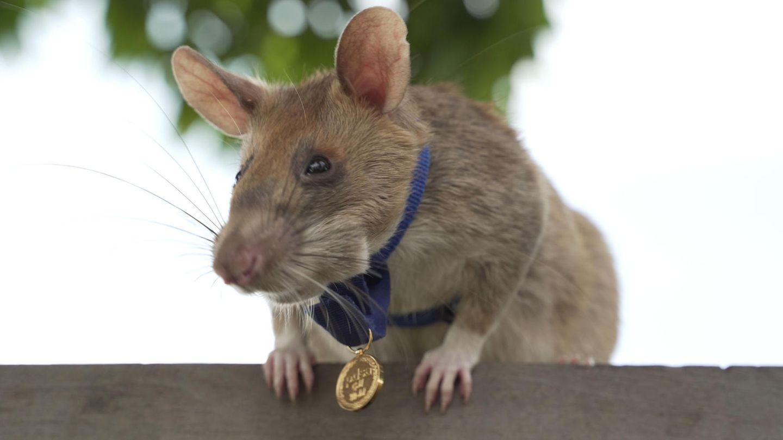 Eintierischer Held: Ratte Magawahat 39 Landminen und 28 Sprengkörper entdecktist dafür ausgezeichnet worden