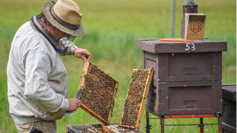 Ein Imker aus Brandenburg prüft Brutwaben an geöffneten Beuten. Deutsche Imker haben sich mit der Verbraucherorganisation Foodwatch zusammengetan, um eine Herkunftskennzeichnung für Honig zu fordern (Archivbild).