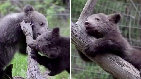 """Bearflix"": Live-Stream von Bären-Waisenhaus soll Spenden sammeln"