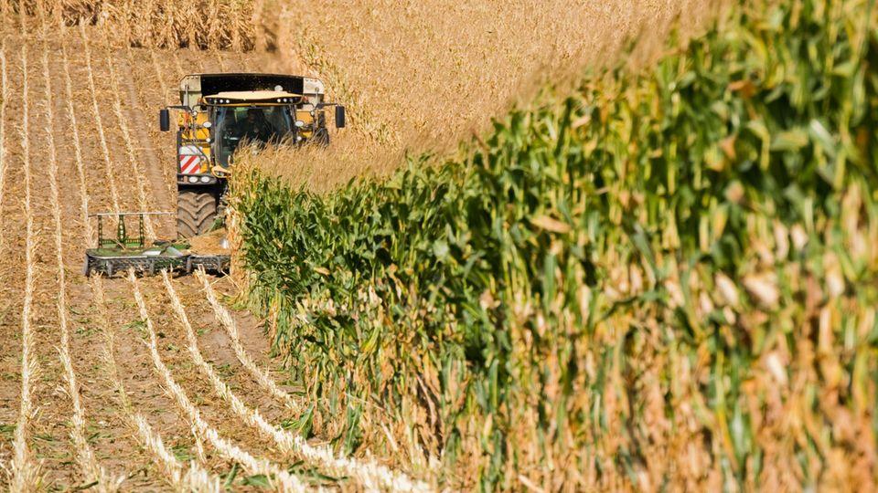 Ein Landwirt erntet mit einem Häcksler ein Maisfeld