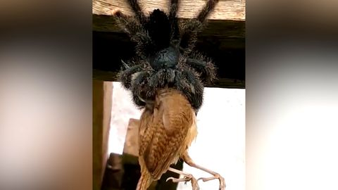 Nahaufnahme: Gigantische Vogelspinne verspeist Vogel