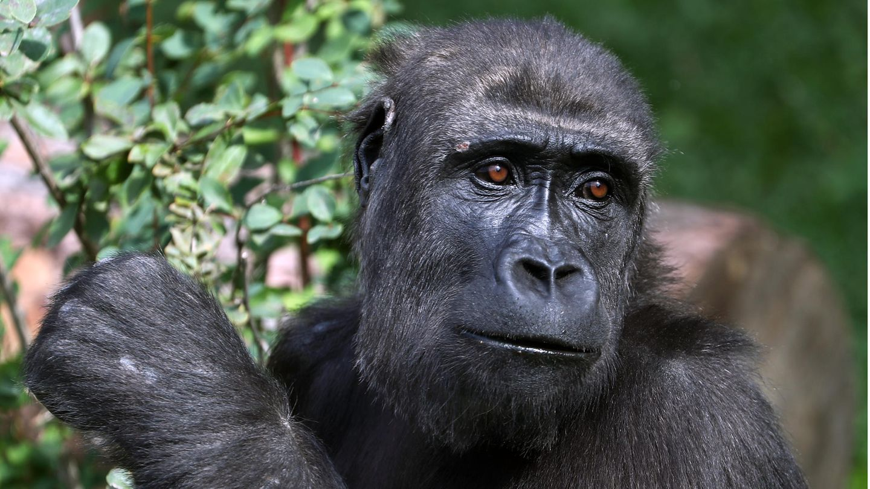 Gorilla greift Tierpflegerin im Zoo von Madrid an