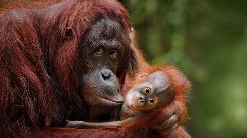 Basel: Volksabstimmung über Grundrechte für Primaten zugelassen